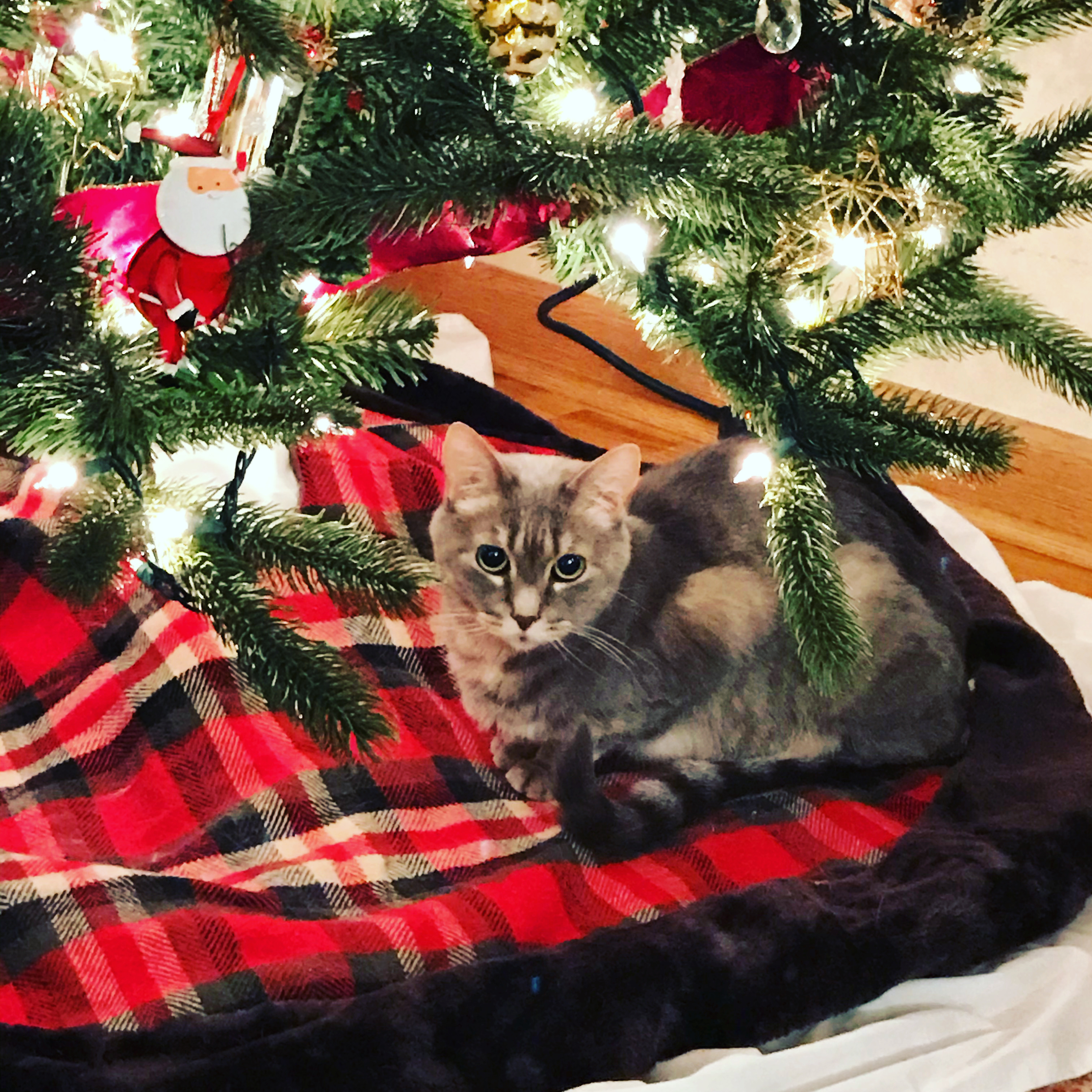 Gray cat under lit Christmas tree, sorry to see the Christmas decorations cleaned up.